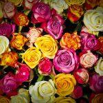 【心理テスト】あなたは何色のバラ?